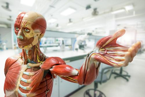 model of the human body, musculature and skeleton